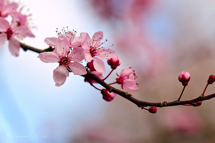 Cherry Blossom 3 by Raylau.deviantart.com on @DeviantArt