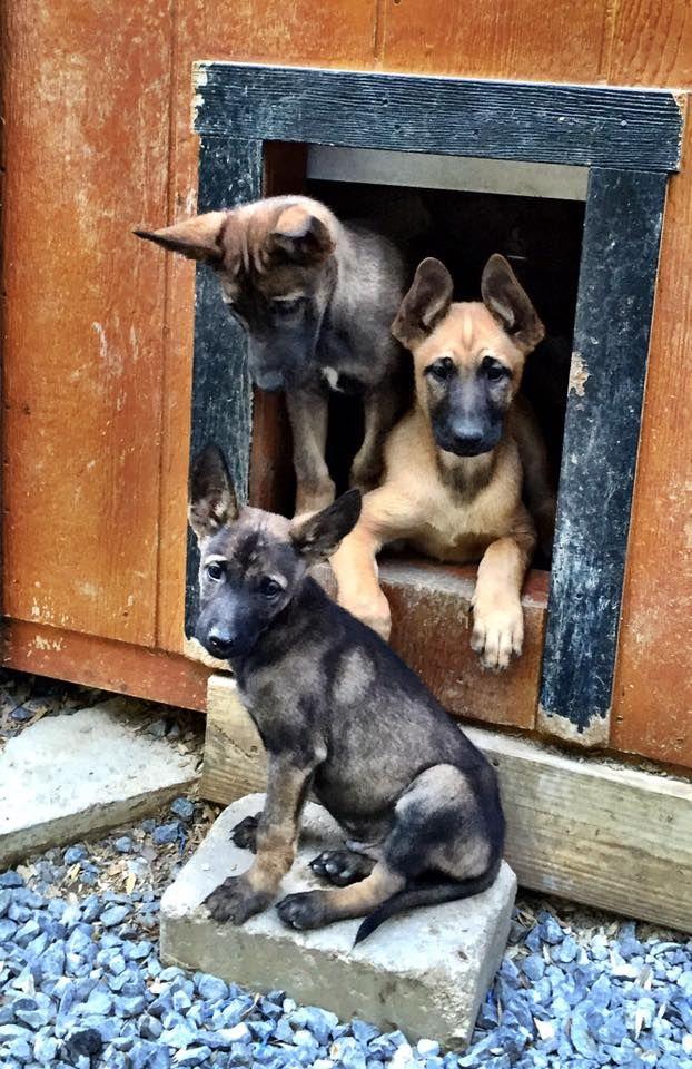 Www Wolfsbanek9 Com Belgian Malinois Puppies Hanging Out Belgian
