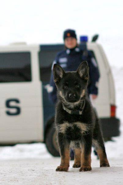 K9 police dog in training.