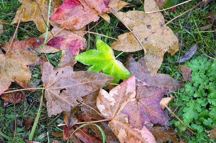 Frühlingstraum im Novembergrau beim Besuch des Botanischen Gartens Rostock | Bunte Herbstblätter im Botanischen Garten Rostock (c) Frank Koebsch (1)