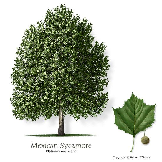 mexican sycamore - doubles in height every year