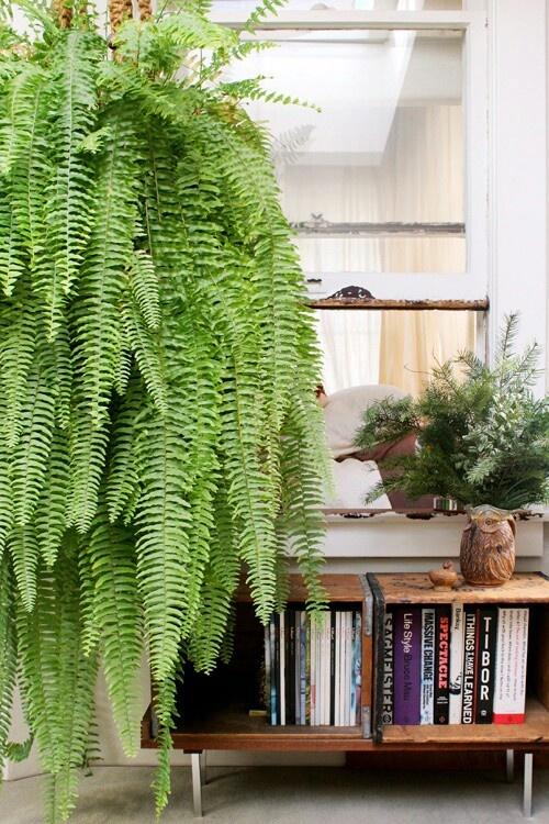 Hanging Ferns For 3 Hooks Each Window Over Doorway