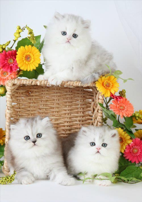 Doll faced Teacup Persian Kitten's