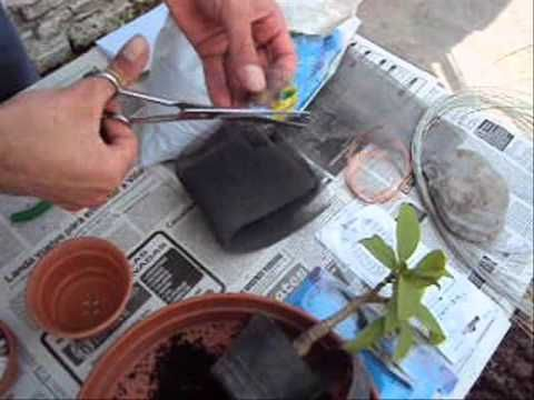 Como hacer un Bonsai? parte 1 (Muy facil!) - YouTube