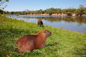 """Always in or near water, the capybara is the world's largest rodent troubling the scales at 50kg."" Pantanal Wildlife; www.bradtguides.com"