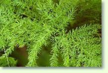 Asparagus Zierspargel