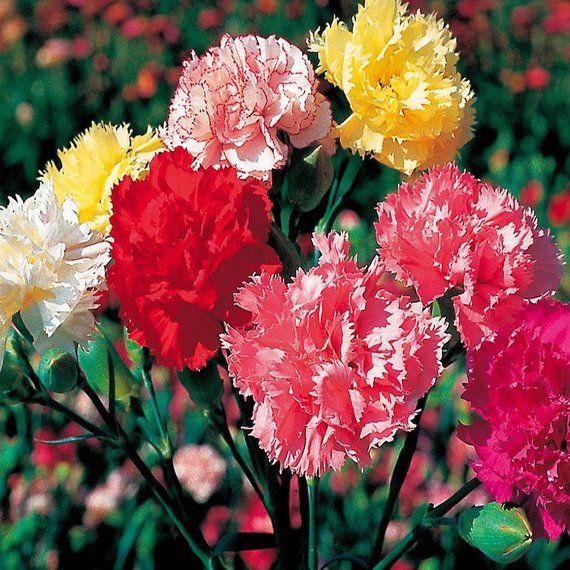 Carnation Mix 40 Seeds Dianthus Caryophyllus Etsy Dianthus Caryophyllus Carnations Growing Carnations