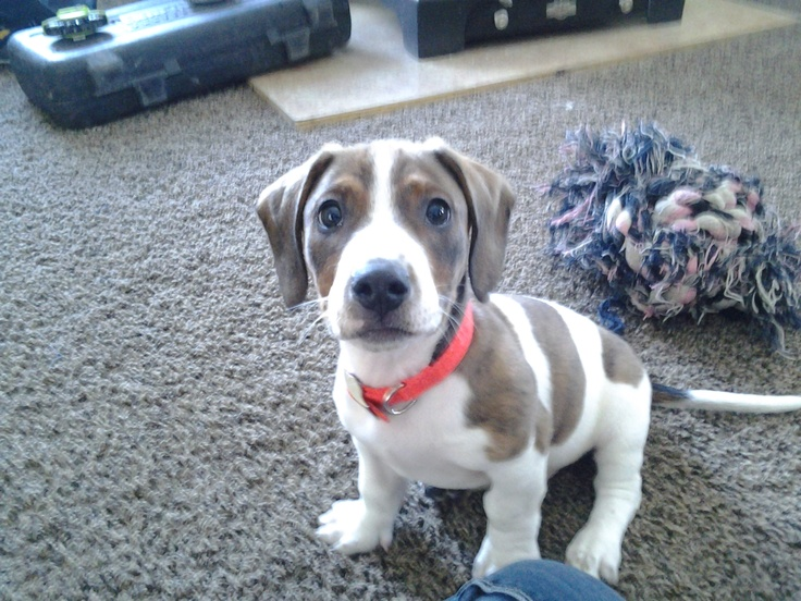 Such a CuTie! My name is Benelli ~ I'm a dashbull! (pit ...
