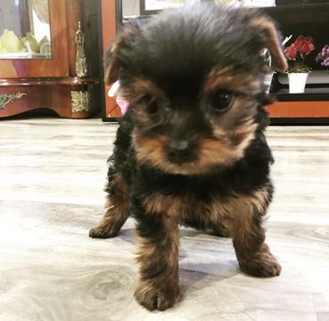 Yorkshire Terrier Puppy For Sale In Los Angeles Ca Adn 56518 On