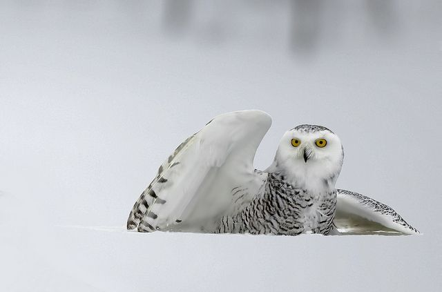 Snowy Owl, Ottawa, Canada | Flickr - Photo Sharing!
