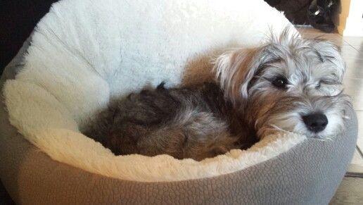6 month old mini schnauzer puppy... Alfred