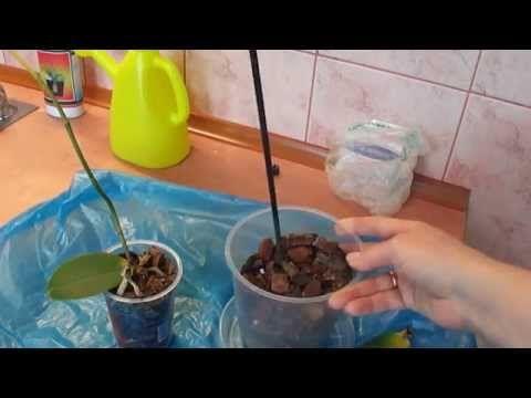 Реанимация орхидеи. Один из способов. Часть 2. - YouTube