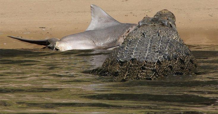 """Crocodilo de água salgada (""""Crocodylus porosus"""") ataca um tubarão no Parque Nacional Kakadu, na Austrália. A imagem foi capturada por um grupo de britânicos que fazia um cruzeiro na região. Os crocodilos desta espécie são os maiores répteis vivos atualmente, sendo que os machos adultos podem chegar a sete metros de comprimento"""