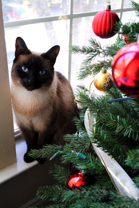 Celebrating Christmas!  For more Christmas Cats, visit https://www.facebook.com/funholidaycats