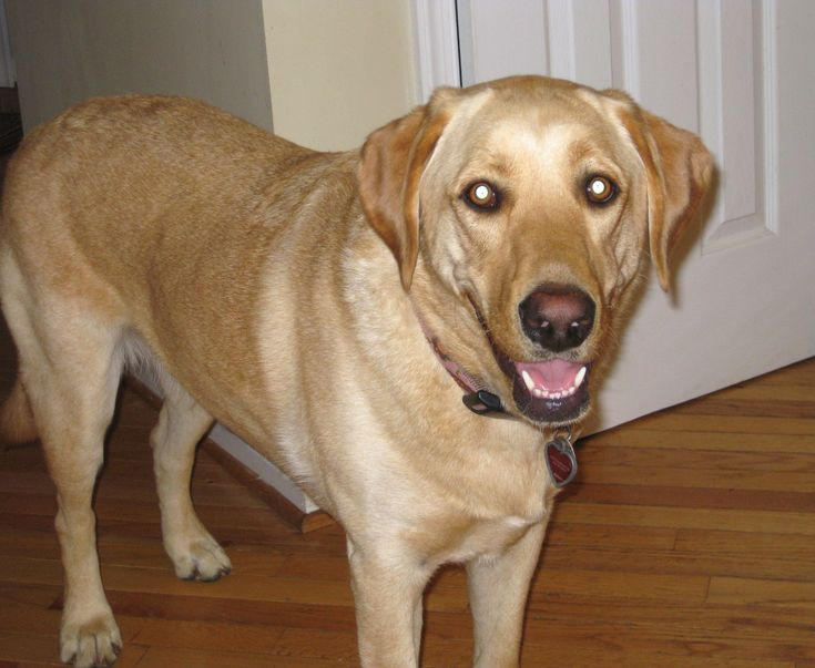 Why we adopted a dog from Labrador Rescue, rather than purchasing a puppy. And why it was the best decision. This is the story of our Sydney and the organization that brought her to our family, Lab Rescue of LRCP.