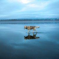 Beautiful Siberian Dog. фото сибирские хаски на озере