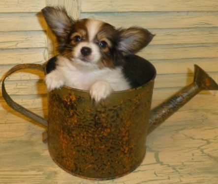 Papillon Sable White Fawn Male See Spanky On My Ebay Ad