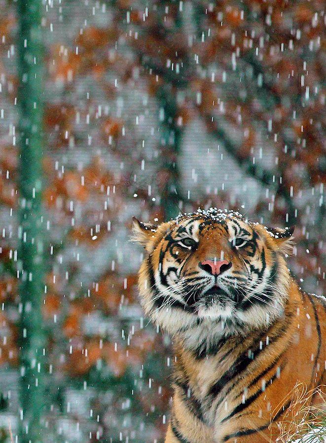 A Sumatran Tiger in Dublin Zooas snow falls