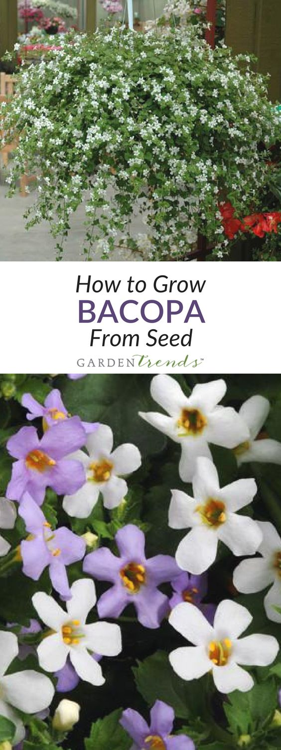 how to grow bacopa from seed
