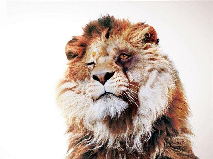Льву подбили глаз -