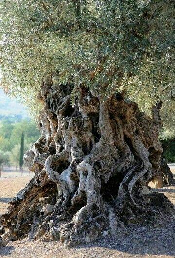 Olivo centenario en Mallorca.