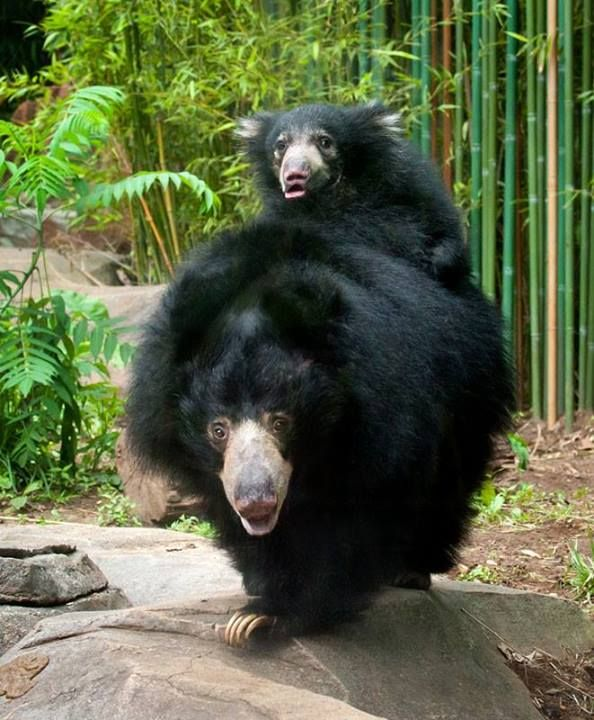 National Zoo's sloth bear cub Hank and mother Hana ...