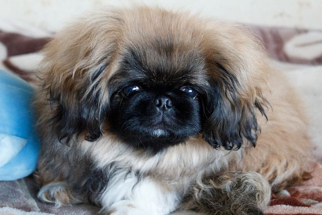Is Your Pekingese Driving You Crazy Dog Secrets The Fastest Way