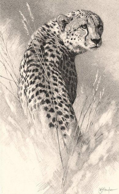 Detailed pencil drawing of a cheetah walking and looking back.