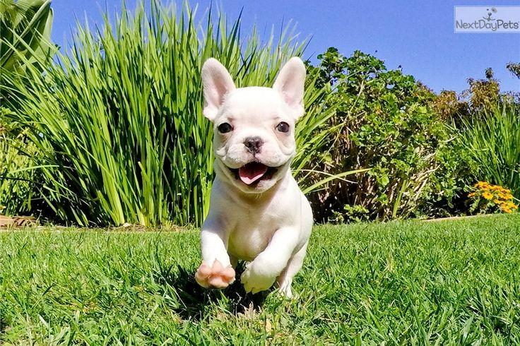 French Bulldog puppy for sale near San Diego, California | 94ee7df0-aee1