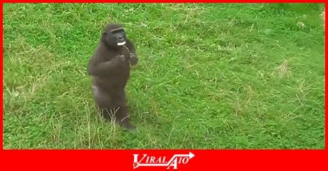This confident baby gorilla named Lope from …  - #Viral #Trending #Videos #Video #Clips #Picture #Pictures #Pic #Pics #Funny