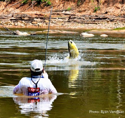 Isn't this one of the best fishing action photos of all time?! Golden Dorado by Ryan Vartanian