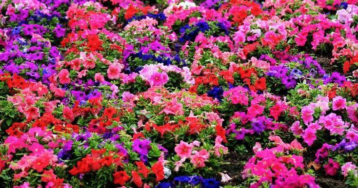 Las plantas anuales tienen la capacidad de convertir tu jardín en un mar de flores en poco tiempo.