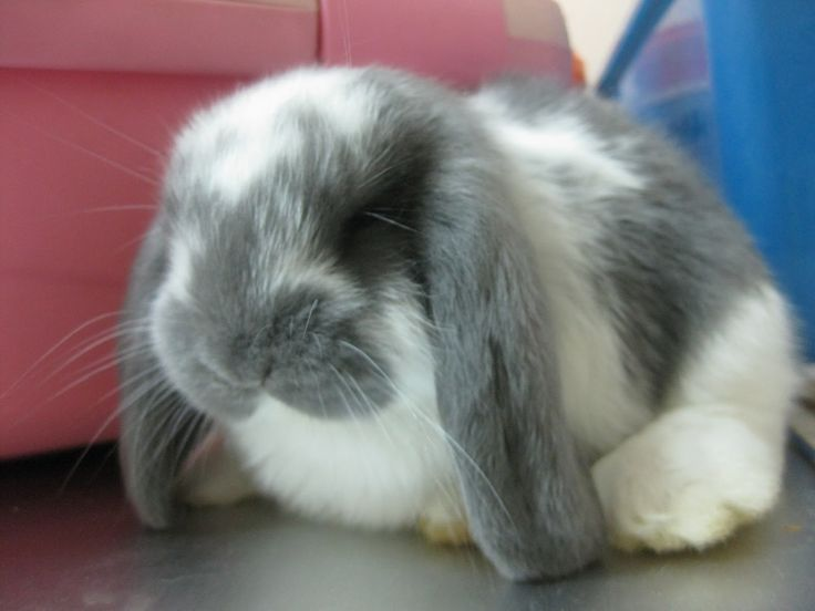 Giant French Lop Rabbits | And look at how cute the Broken Opal French Lop has grown.