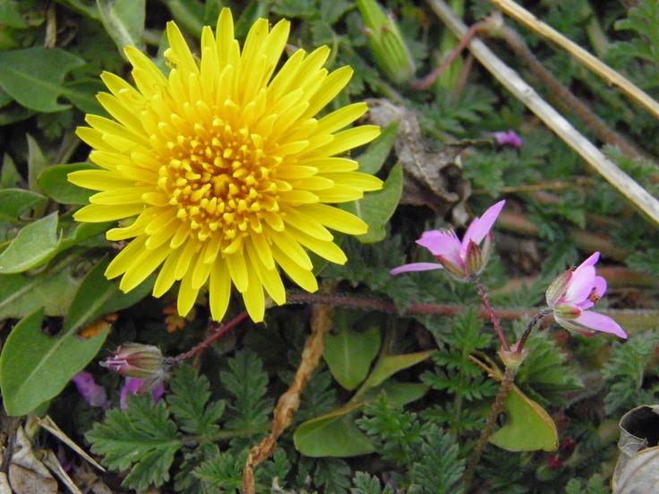 Yellow dandelion! Photography by Weldon Kilpatrick