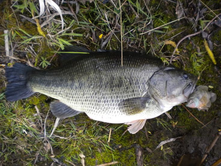 17 best images about fishing on pinterest mothers bass for Bass fishing swimbaits