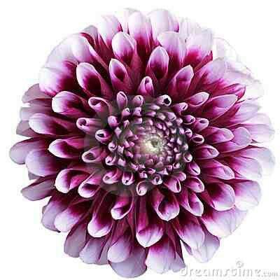 Aster September birth flower                              …