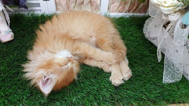 #페르시안 #고양이 #아기고양이 #루시 #cat