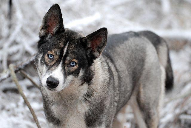 Love love love these Siberian Husky face markings!!!
