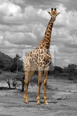 Papier peint girafe
