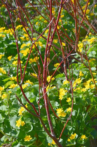 ** RED OSIER DOGWOOD *** Shrub, Beautiful red branches, great for early spring vase cuttings, buds will turn to leaf in the house.