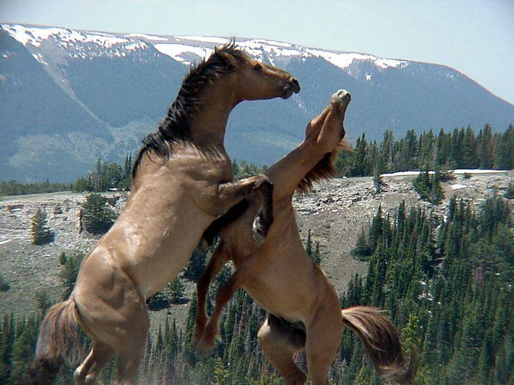 divocí koně vektor