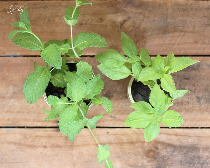 How to propagate herbs... delicious fresh mint and basil propagated