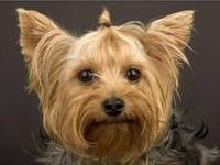 Breed of This Week: Yorkshire Terrier