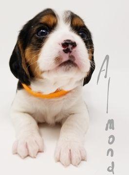 Beaglier puppy for sale in CANOGA PARK, CA. ADN-59069 on PuppyFinder.com Gender: Female. Age: 6 Weeks Old