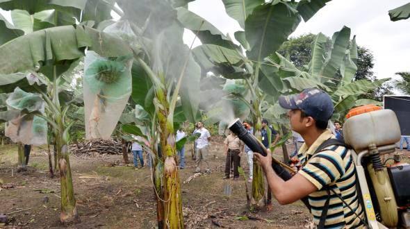 Con este elemento se ahorraría un 40 % de los costos para controlar la plaga en plantas de banano.