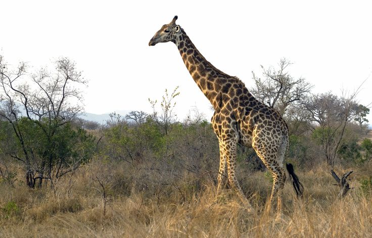 https://flic.kr/p/ZxNjyd | South African giraffe (Giraffa camelopardalis giraffa), Kruger National Park, South Africa | 140822 126