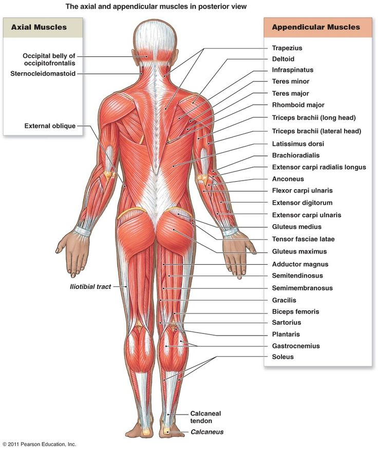 Major Posterior Muscles | Anatomy