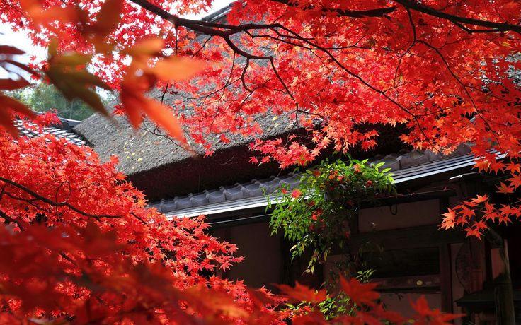 www.carnet-deco.fr wp-content uploads 2015 12 Erables-du-japon-rouge.jpg