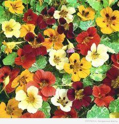 цветок_настурция секреты выращивания