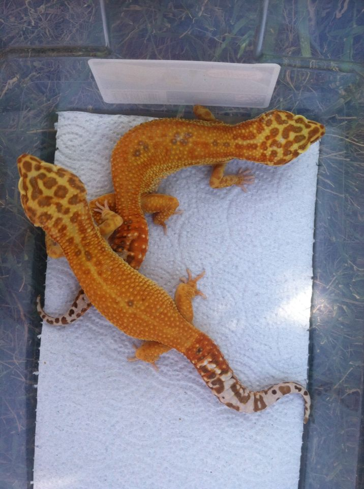 Extreme emerine leopard gecko owned and produced by Anthony Conti of LeopardGeckoMorph.com Breeders.